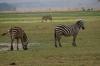 Zebras, Ambesoli National Park, Kenya