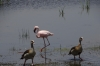 Lesser Flamingo & Egyptian Geese, Ambesoli National Park, Kenya