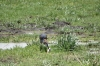Blue Heron catches fish, Ambesoli National Park, Kenya