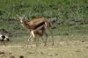 Thompson Gazelle & young, Ambesoli National Park, Kenya