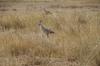 Secretary Birds, Ambesoli National Park, Kenya