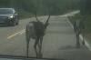 Reindeer on the road between Rovaniemi and Ahttu FII