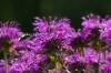 Bees in Kadriorg Park, Tallinn EE