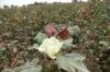 Cotton is Uzbekistan's primary produce