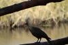 Grey Lourie or 'Go-Away Bird', Camp Kwando, Namibia