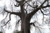 Baobub Tree (like our Boab), Camp Kwando, Namibia