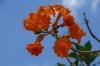 Orange flowers & fruit. Chichen Itza