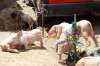 Tangled pigs in the livestock market, mostly pigs. Market day in Chichicastenango