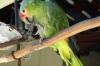 Green Macaw, permenant resident of the Mayan Inn, Chichicastenango