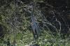Blue-grey heron. El Fuerte