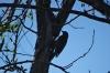 Woodpecker near Rio Fuerte