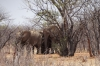 Elephants sheltering under a tree. Etosha, Namibia