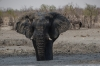 Bull Elephants have a mud bath at the Olifantsrus waterhole, Etosha, Namibia