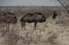 Wildebeest near the Ozonjuitji m'Bari waterhole, Etosha, Namibia
