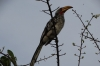 Hornbill. Andersson's Camp