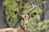 Black Faced Impala at the waterhole, Andersson's Camp, Namibia