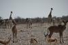 Giraffes, Elands, Sprinkboks, Zebras at Gemsbokvlakte waterhole, Entosha, Namibia