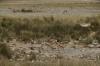 Springbok at the Charitsaub waterhole, Etosha, Namibia