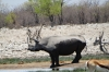 White Rhino at the Rietfontein waterhole, Etosha, Namibia