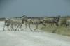 'Zebras Crossing',  Springbokfontein & Batia waterholes, Etosha, Namibia