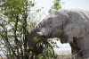 Elephant 'eating' a tree, they are massively destructive, Etosha, Namibia