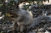 Squirrel feeding. Walk from Pipe Creek Vista to Mather Point, Grand Canyon, AZ
