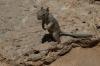 Tame squirrel. Mather Point, Grand Canyon, AZ