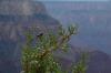 Juniper berries. Mohave Point, Grand Canyon, AZ