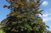Australian Silky Oaks, in the garden of the Helmeringhausen Hotel, Namibia