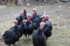 Turkeys. Kisiskhevi Village