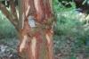 Cinnamon bark,, Kidichi Spice Farm, Tanzania