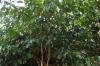 Cinnamon tree, Kidichi Spice Farm, Tanzania