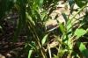 Cardomon, Kidichi Spice Farm, Tanzania