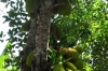 Jack Fruit, Kidichi Spice Farm, Tanzania