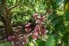 Star Fruit, Kidichi Spice Farm, Tanzania