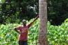 The coconut butterfly, Kidichi Spice Farm, Tanzania