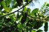 Langi Langi Tree, Kidichi Spice Farm, Tanzania