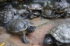 Turtles, special for their long life, in an overcrowded pond at the International Buddhist Pagoda, KL, Malaysia