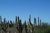 Driving south-west from La Paz, catus everywhere