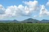 Sugar cane fields