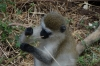 Verveb Monkey,Lake Manyara Park, Tanzania