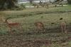 Male Impalas, Lake Manyara Park, Tanzania