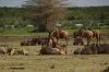 Wildebeest, Lake Manyara Park, Tanzania