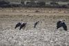 Maribou Storks on Lake Manyara, Lake Manyara Park, Tanzania