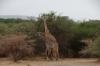 Masai Giraffes, Lake Manyara Park, Tanzania