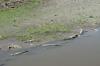 Large crocodiles on Rio Grande de Tacoles, between San Jose and Manuel Antonio