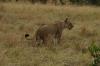 Lioness, Masaimura National Reserve, Kenya