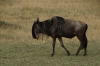 Wildebeests, Masaimura National Reserve, Kenya