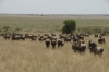 The migration of Wildebeests and Zebras, Masaimura National Reserve, Kenya