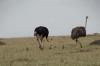 Ostrich family, Masaimura National Reserve, Kenya